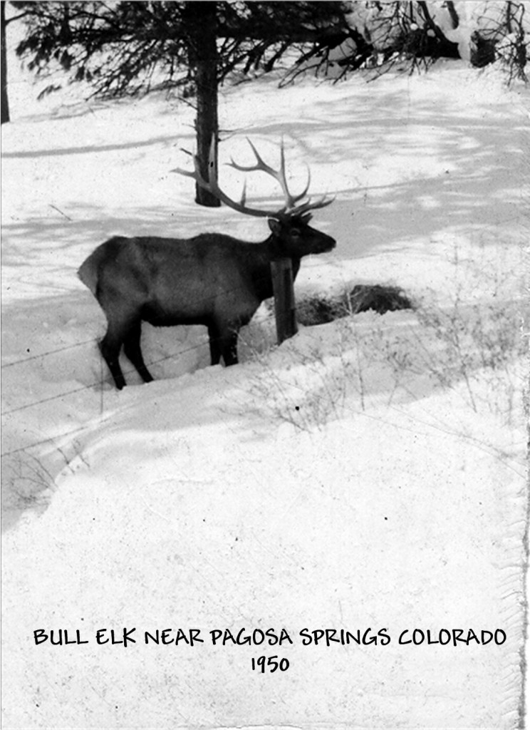Bull Elk in the Snow in Pagosa Springs photo